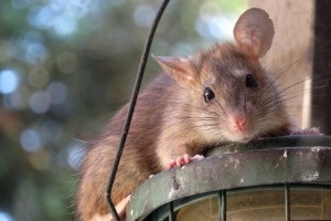 Rat extermination, Pest Control in South Woodford, E18. Call Now 020 8166 9746