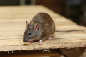 Rodent Control, Pest Control in South Woodford, E18. Call Now 020 8166 9746