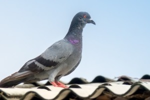 Pigeon Pest, Pest Control in South Woodford, E18. Call Now 020 8166 9746