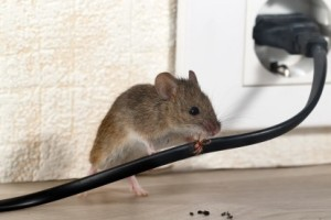 Mice Control, Pest Control in South Woodford, E18. Call Now 020 8166 9746