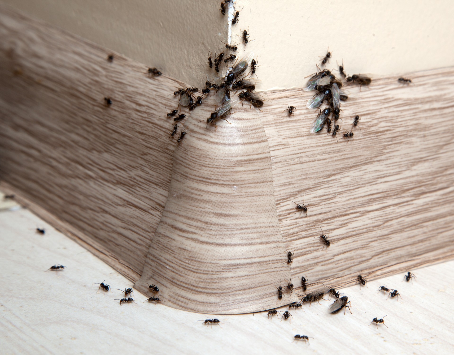 Ant Infestation, Pest Control in South Woodford, E18. Call Now 020 8166 9746