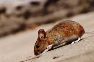 Mice Exterminator, Pest Control in South Woodford, E18. Call Now 020 8166 9746